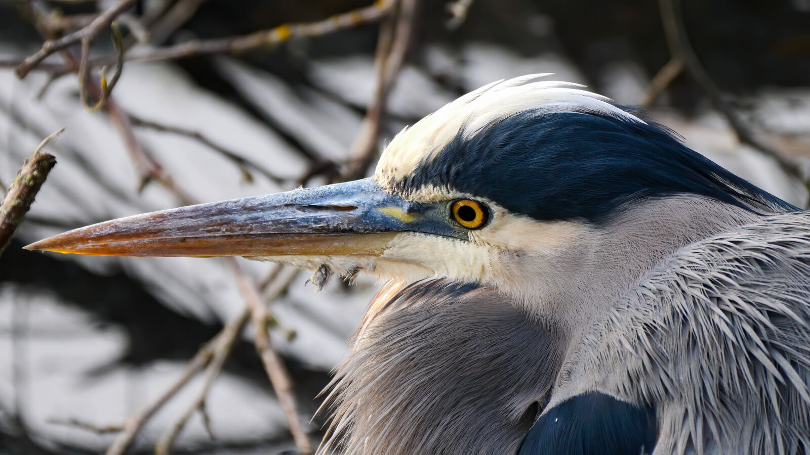 A great blue heron bird