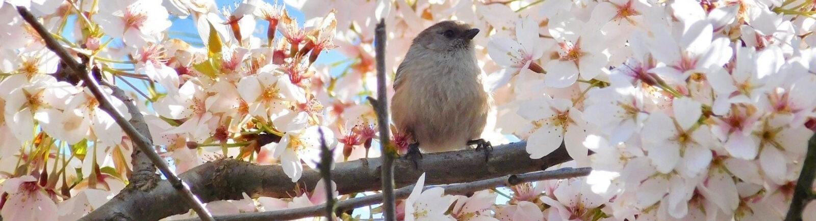 A bushtit in a cherry tree