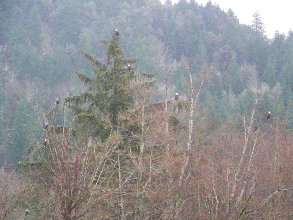 Numerous bald eagles in trees